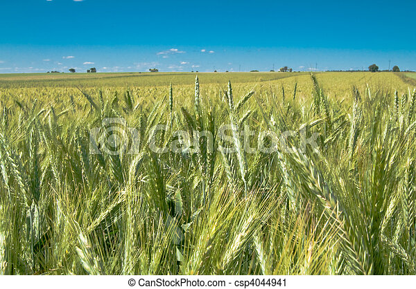 Green wheat field - csp4044941