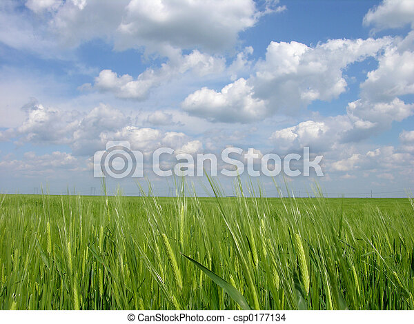 Green Wheat Field - csp0177134