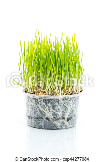 Green wheat on white background - csp44277084