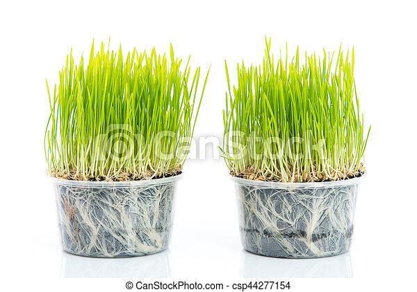 Green wheat on white background - csp44277154
