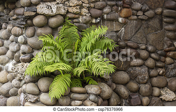 Green young fern on a stone wall, made of smooth stones. - csp76376966