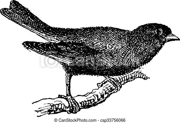 Greenfinch or Carduelis chloris, vintage engraving - csp33756066