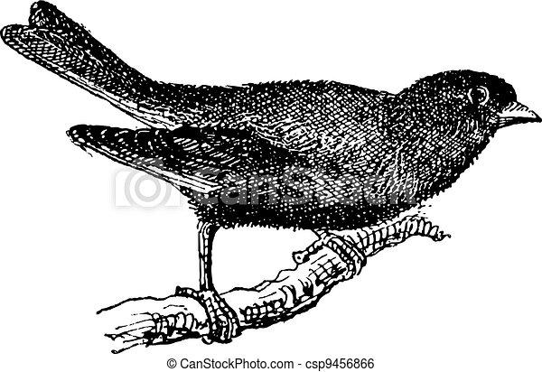 Greenfinch or Carduelis chloris, vintage engraving - csp9456866