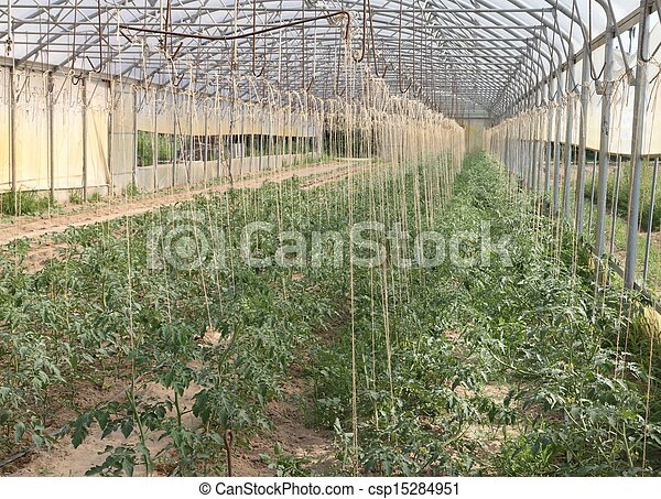 greenhouse for the cultivation of cluster tomatoes 1 - csp15284951
