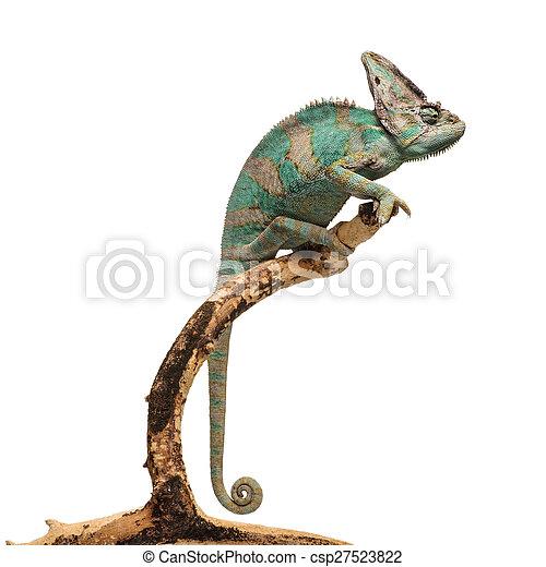 Greenish brown chameleon on branch - csp27523822
