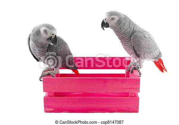 Grey African parrots - csp8147087