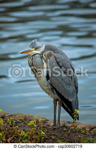 Grey heron (Ardea cinerea)  - csp30602719