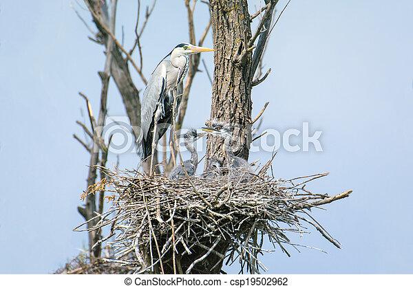 grey heron (Ardea cinerea) - csp19502962
