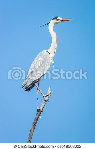 grey heron (Ardea cinerea) - csp19503022