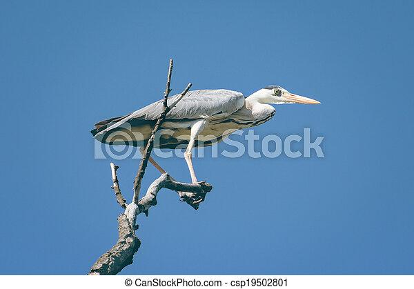 grey heron (Ardea cinerea) - csp19502801
