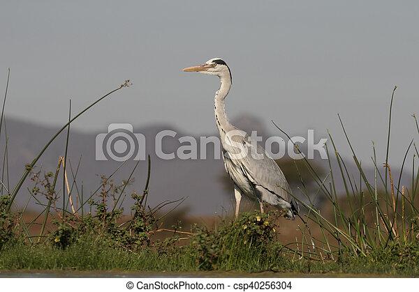 Grey heron, Ardea cinerea - csp40256304