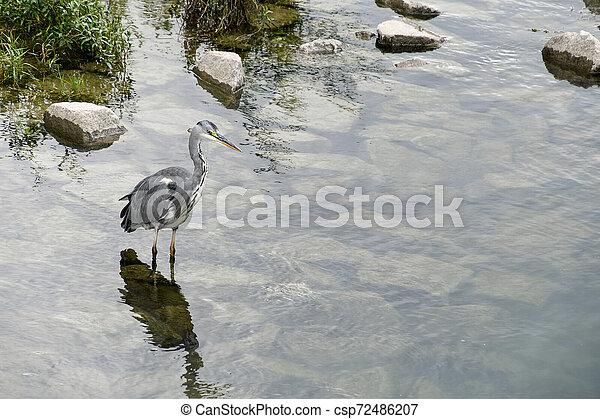 grey heron standing in water - csp72486207