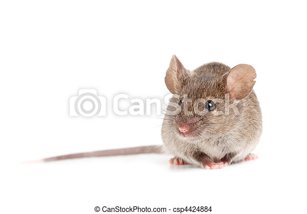 grey mouse isolated on white - csp4424884