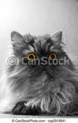 grey persian cat with yellow eyes - csp2918841