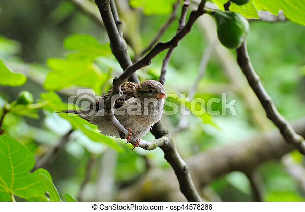 Grey sparrow on a tree branch. Focus on the bird. Shallow depth of field. - csp44578286