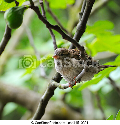Grey sparrow on a tree branch. Focus on the bird. Shallow depth of field. - csp41510321