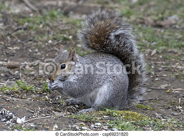 Grey squirrel eating on the ground. - csp69231820