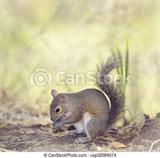 Grey Squirrel Eating - csp32084074