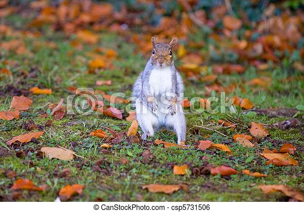 Grey squirrel on the grass - csp5731506