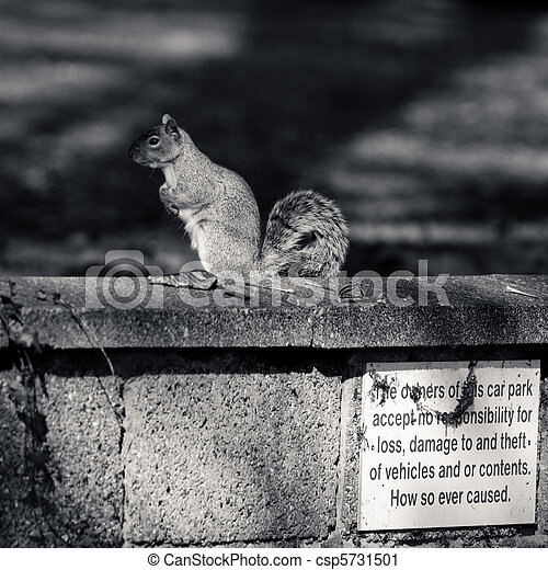 Grey squirrel on the wall - csp5731501