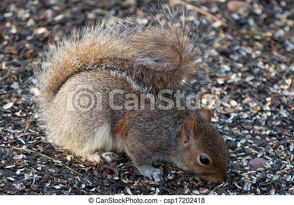Grey Squirrel - csp17202418