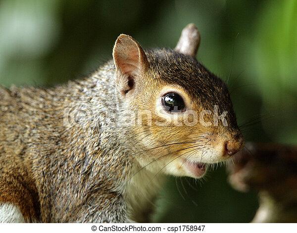 Grey Squirrel - csp1758947