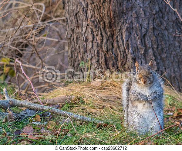 Grey Squirrel - csp23602712