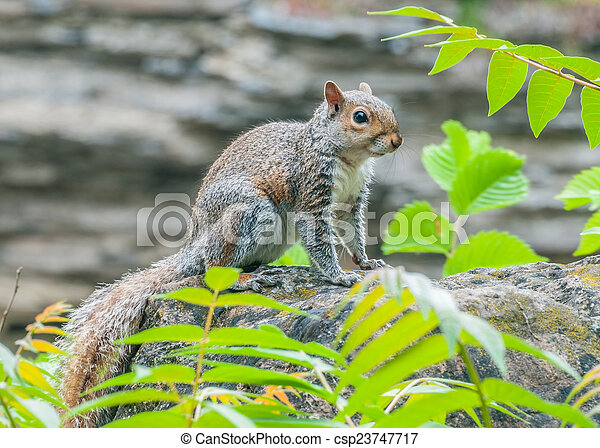 Grey Squirrel - csp23747717