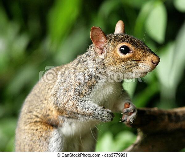 Grey Squirrel - csp3779931