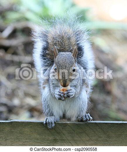 Grey squirrel - csp2090558