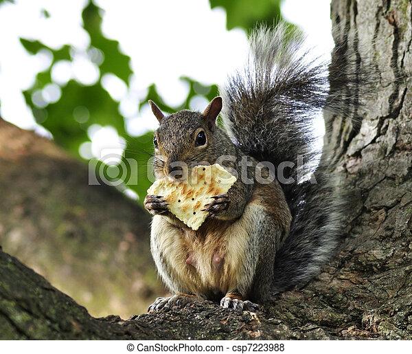 grey squirrel - csp7223988