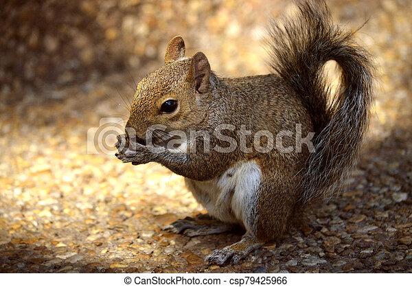 Grey squirrel - csp79425966