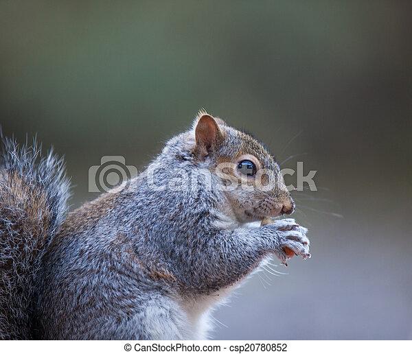 Grey Squirrel - csp20780852