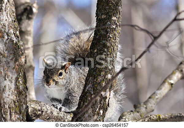 Grey squirrel - csp26454157