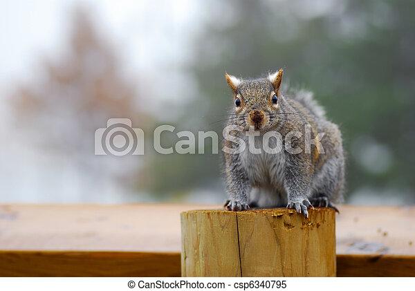 Grey Squirrel - csp6340795