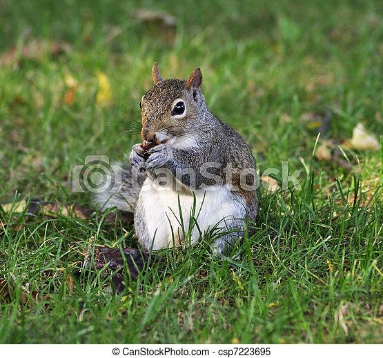grey squirrel - csp7223695
