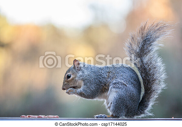Grey Squirrel - csp17144025