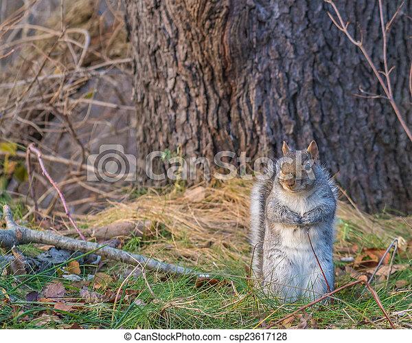 Grey Squirrel - csp23617128