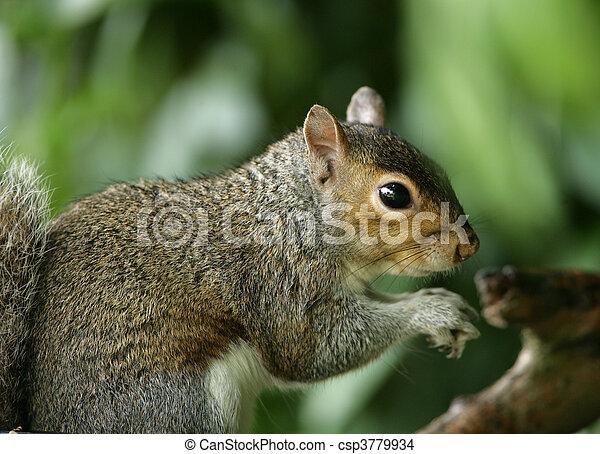 Grey Squirrel - csp3779934