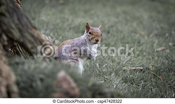 Grey squirrel - csp47428322