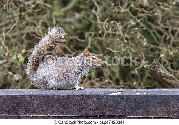 Grey squirrel - csp47428341