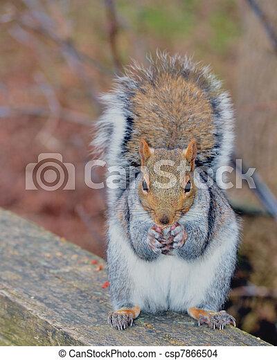 Grey Squirrel - csp7866504