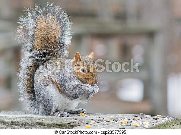 Grey Squirrel - csp23577395