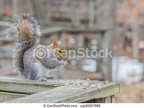 Grey Squirrel - csp30007899
