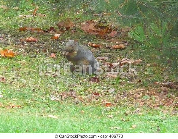 Grey Squirrel - csp1406770