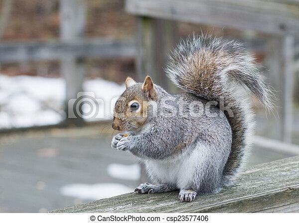 Grey Squirrel - csp23577406