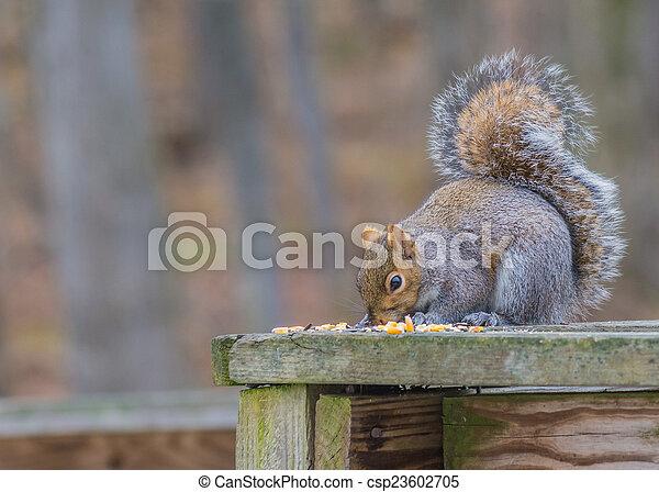 Grey Squirrel - csp23602705