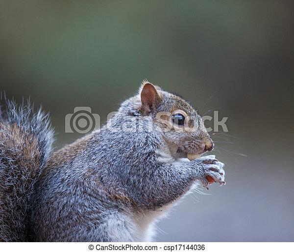 Grey Squirrel - csp17144036
