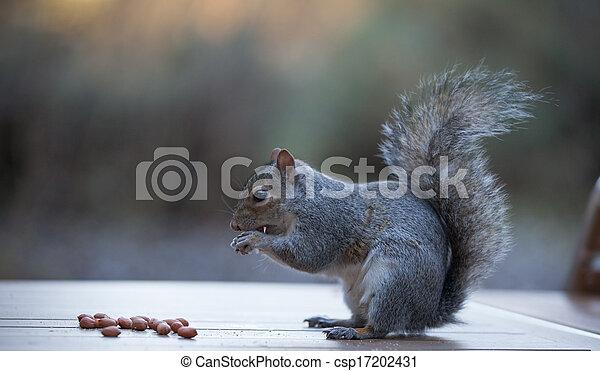 Grey Squirrel - csp17202431