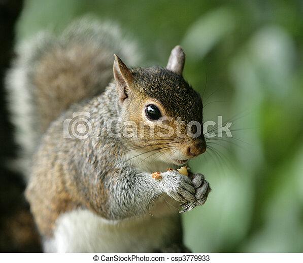 Grey Squirrel - csp3779933